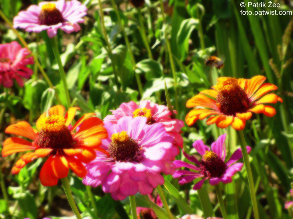 Kvety a včela (11.08.2013), upravené